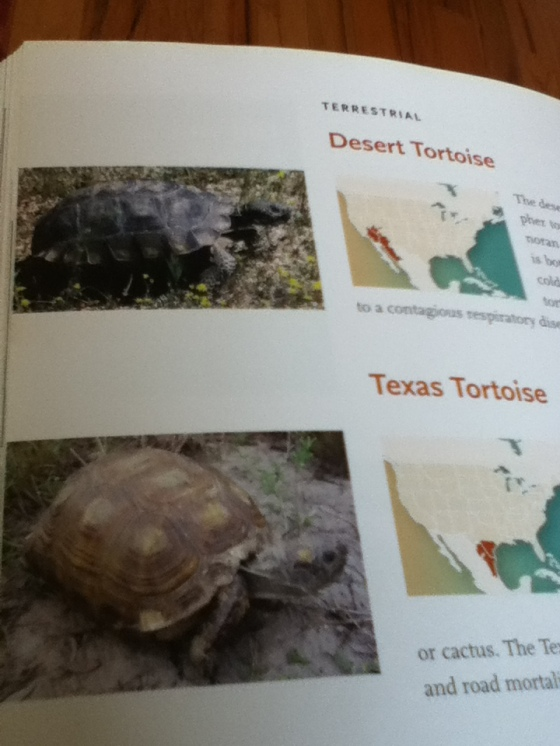 Two types of Gopher Tortoises